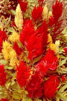 Free Red And Yellow Garden Royalty Free Stock Images - 3203609