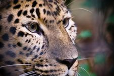 Free Beautiful Leopard Stock Images - 3204114