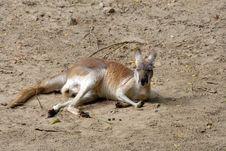 Free Kangaroo Royalty Free Stock Photography - 3204667