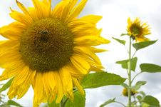 Free Sunflower Royalty Free Stock Images - 3204759