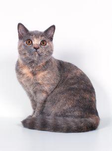 Free The Scottish-straight Cat Stock Photography - 3205362