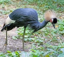 Free Black Crowned Crane 2 Royalty Free Stock Image - 3205526