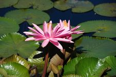 Free Water Lily Royalty Free Stock Photography - 3206037
