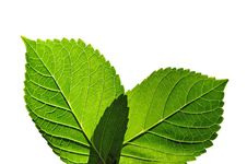 Free Leaves With Texture Showing Veins Royalty Free Stock Image - 3206056