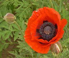 Free Garden Poppy Stock Photo - 3206310