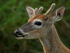 Free Young Buck At First Light Stock Photography - 3208222
