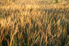 Free Wheat Stock Photography - 3208682