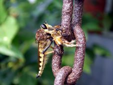 Free Robber Fly With Honeybee Stock Images - 3208704