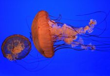 Free Medusas (jellyfishes) Royalty Free Stock Photography - 3209937