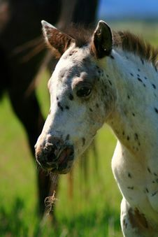 Free Spotted Colt Royalty Free Stock Photos - 3209978