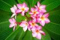 Free Branch Of Pink Flowers Frangipani Plumeria Royalty Free Stock Image - 32005526