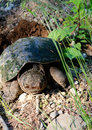 Free Snapping Turtle &x28;Chelydra Serpentina&x29; Stock Photos - 32009783