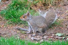 Free Grey Squirrel On The Ground. Royalty Free Stock Photo - 32000085