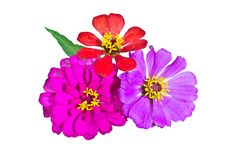 Free Zinnia Flower Isolated Stock Image - 32001621