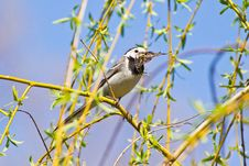 Free Wagtail Holding Dry Leaves For Nest Royalty Free Stock Image - 32004286