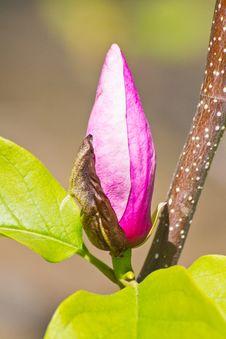 Free Closeup Of Magnolia Bug Royalty Free Stock Photo - 32004685