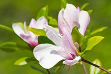 Free Blooming Magnolia Royalty Free Stock Photos - 32004828