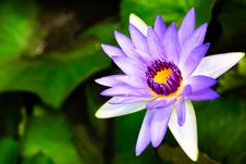 Free Purple Lotus Blossoms Royalty Free Stock Photo - 32005435