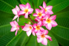 Branch Of Pink Flowers Frangipani Plumeria Royalty Free Stock Image
