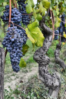 Free Merlot Grapes Stock Image - 32006501