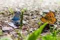 Free The Common Blue &x28;Polyommatus Icarus&x29; Royalty Free Stock Image - 32015526