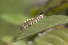 Free Caterpillar Butterfly Orgyia Antiqua. Royalty Free Stock Photos - 32012838