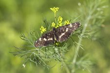 Butterfly Araschnia Levana. Stock Photo