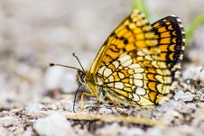 Free Common Butterfly Silverspot &x28;Argynnis Ino&x29; Stock Images - 32015494