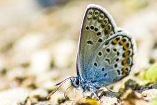 Free The Common Blue &x28;Polyommatus Icarus&x29; Royalty Free Stock Photos - 32015528