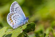 Free The Common Blue &x28;Polyommatus Icarus&x29; Stock Photo - 32015560