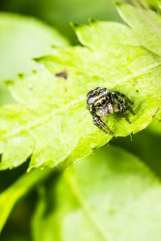 Portrait Of A Zebra Spider Stock Images