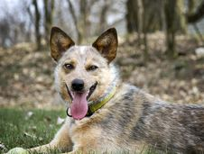 Free Red Heeler With Her Tennis Ball Stock Photography - 32018472