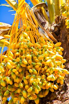Free Palm Tree Fruits Stock Photo - 32019200