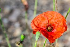 Free Red Poppy Flower Royalty Free Stock Photos - 32019298
