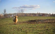 Scottish Highland Cow Stock Image