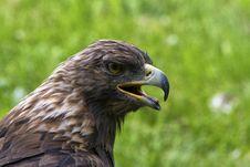 Free Royal Eagle Royalty Free Stock Images - 32019789