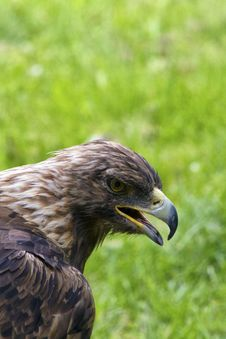 Free Royal Eagle Stock Images - 32019844