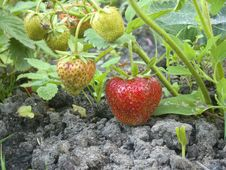 Strawberries In A Garden Stock Image