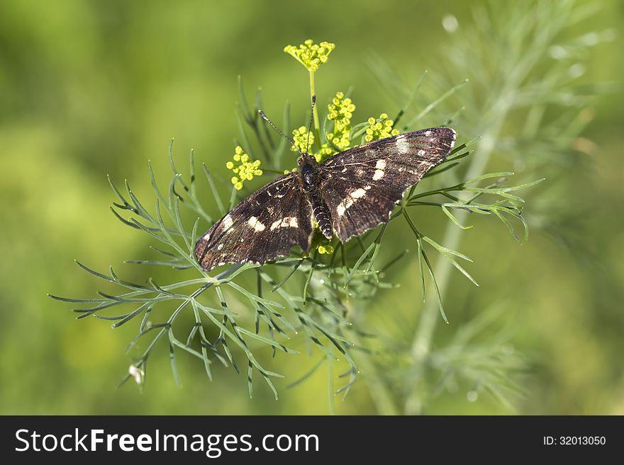 Butterfly Araschnia levana.