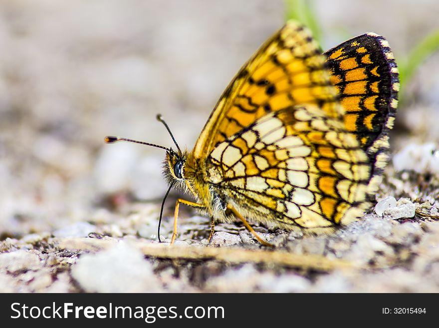 Common butterfly Silverspot &x28;Argynnis Ino&x29;