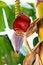 Free Banana Blossom In A Garden Royalty Free Stock Photo - 32017615