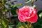 Free Fresh Pink Rose Stock Images - 32018774