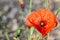 Free Red Poppy Flower Royalty Free Stock Photos - 32019298