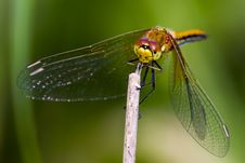 Free The Yellow-Winged Darter Stock Photos - 32020293