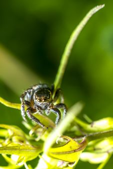 Portrait Of A Zebra Spider Royalty Free Stock Images