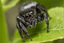 Free Portrait Of A Zebra Spider Royalty Free Stock Images - 32020359