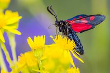 Free The Narrow-Bordered Five-Spot Burnet &x28;Zygaena Lonicerae&x29;s Schneider&x29; Royalty Free Stock Photo - 32020425