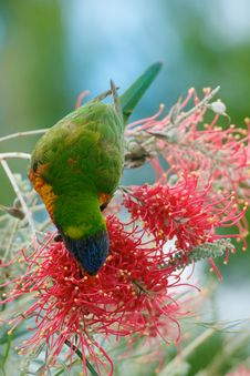 Free Lorikeet Feeding On Nectar Royalty Free Stock Images - 32025469