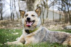 Free Red Heeler With Her Tennis Ball Royalty Free Stock Images - 32029349