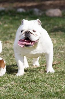 Free White Bulldog Outside Royalty Free Stock Image - 32029616